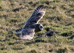 Owl Hunting (Ger Bosma) Tags: field flying inflight low hunting meadow short owl grassland owls eared skimming shortearedowl asioflammeus sumpfohreule bhocampestre hiboudesmarais velduil gufodipalude lechuzacampestre hiboubrachyote 2mg167949b