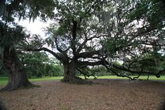Canon206495 (godrudy6661) Tags: neworleans audubonpark treeoflife oaktrees