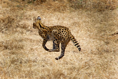 Wild cat on the run (Mussi Katz) Tags: africa wild cat tanzania run bushes
