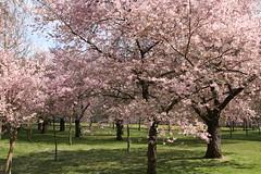 Kirschblte im Schwetzinger Schlopark (im_fluss) Tags: pink trees spring blossoms rosa bume cherrytrees frhling schwetzingen blten kirschblte schlospark