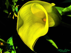 Calla Lily (mikederrico69) Tags: summer plant flower macro nature beauty yellow garden stem lily calla foliage bloom pollen boteny