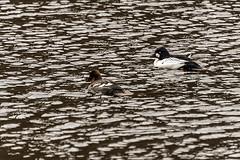 SLN_1602773 (zamon69) Tags: bird water animal se duck skne sweden vatten djur fgel skralid
