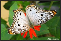 Borboleta / Butterfly (Fbio & Carol) Tags: color nature beautiful field animal rural butterfly garden cores insect countryside farm natureza butterflies inseto borboleta jardim campo stio beleza fazenda metamorfose amricadosul polinizao interiordesopaulo itasp sonydsch55