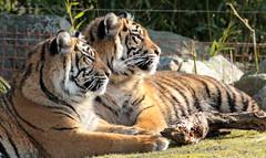 sumatran tiger bugerszoo JN6A5446 (j.a.kok) Tags: tiger sumatrantiger tijger burgerszoo pantheratigrissumatrae sumatraansetijger