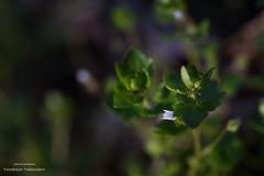 Micro flower (svetlo_vsem) Tags: flowers plant flower nature field spring nikon outdoor first micro d750 depth 6028g