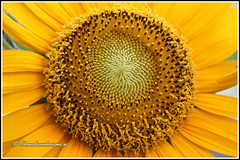 6089 - sun flower (chandrasekaran a 32 lakhs views Thanks to all) Tags: flowers india nature sunflower chennai canon60d