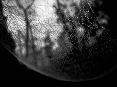 Wet Web ([Alan]) Tags: bw white abstract black droplets cobweb