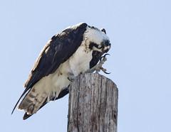 Scratch (Frank O Cone) Tags: birds wings raptor osprey nests