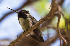 IMG_3186.jpg (ashleyrm) Tags: travel arizona birds museum sonora desert tucson hummingbirds birdwatching avian tucsonarizona hummingbirdaviary