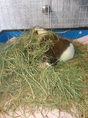 Where's the Flossie (grannyju1) Tags: pets march guineapig scatter flossie 2016