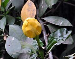 DSC_0502 (rachidH) Tags: flowers nepal nature vines lily blossoms kathmandu blooms solandramaxima chalicevine cupofgoldvine hawaiianlily goldenchalicevine rachidh solandragéante