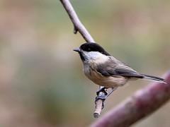 Wilow Tit (robin denton) Tags: bird nature wildlife yorkshire pottericcarr wildlifetrust yorkshirewildlifetrust willowtit