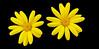 yellow daisy (Euryops spp.) (Jac Hardyy) Tags: flowers flower beautiful yellow gold golden petals nice blossom blossoms blumen stamens petal gelb stamen daisy bloom marguerite blooms blume blüte blütenblätter blüten gelbe euryops margerite schön blütenblatt staubblätter spp chrysanthemoides staubblatt goldmargerite strauchmargerite