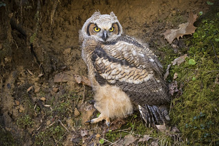 Great Horned Owlette at Mathia's Grove