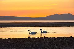 Heading home (Alan Habbick Photography.) Tags: swan swans ayr arran ayrshire riverdoon