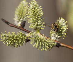 _DSC7107-Edit (doug.metcalfe1) Tags: plant ontario nature insect spring outdoor pussywillow 2016 mckenziemarsh nokiidaatrail