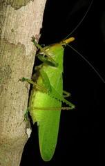 horn-headed katydid (Birdernaturalist) Tags: wings costarica tettigoniidae richhoyer miscinvert