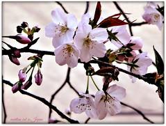"""Lovely cherry blossoms display beautiful details."" (martian cat) Tags: japanesecherryblossoms yokohama japan ©martiancatinjapan allrightsreserved© ©allrightsreserved flower nature treeblossoms diamondclassphotographer martiancatinjapan© martiancatinjapan flickrdiamond ☺allrightsreserved cherryblossom allrightsreserved ☺martiancatinjapan martiancat"