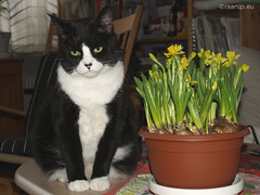 Snow White with daffodils (2010) (Finn Frode (DK)) Tags: flowers pet animal cat denmark indoor olympus daffodil snowwhite mixedbreed narcissus domesticshorthair e400 snehvide