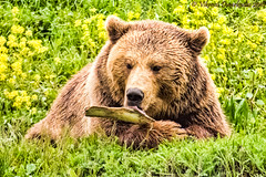Bear in Baren Park, Bern, Switzerland (vdwarkadas) Tags: bear canon switzerland bears bern brownbears bearpark barengraben barenpark canonsx50hs