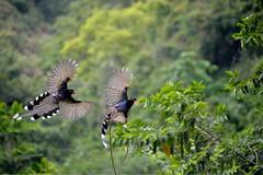 台灣藍鵲 - Taiwan Blue Magpie (michaeliao27) Tags: 台灣藍鵲 taiwanbluemagpie 台灣 台中市 霧蜂區