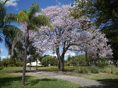 Birthday bloom  .  .  . (ericrstoner) Tags: ceibaspeciosa silkflosstree malvaceae paineira paineirarosa unb memorialdarcyribeiro brazil