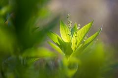 Mercuriale (1Florelle) Tags: macro fleur suisse vert flore vaud sousbois