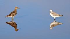 Pectoral Sandpiper & Sanderling (s_uddin59) Tags: hawaii oahu kahuku sanderling pectoralsandpiper kahukushrimppond