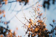 bullfinch (Joe Pepper) Tags: travel winter film nature analog 35mm canon explore fujifilm birdwatching canonftb birdsonfilm
