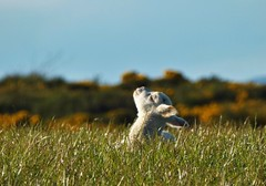 Soaking up the Sun..x (Lisa@Lethen) Tags: sky sun field grass animal spring outdoor lamb gorse