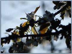 First Light (foggyray90) Tags: morning spring blossom backlit morninghasbroken