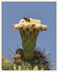 Saguaro Cactus Bloom (gauchocat) Tags: arizonasonoradesertmuseum tucsonarizona