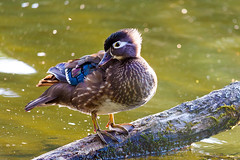 I'm So Pretty (David Gn Photography) Tags: wood city usa lake nature birds animal female oregon standing portland duck pond log unitedstates wildlife parks american perch pacificnorthwest northamerica waterfowl crystalsprings feathered woodduck rhododendrongarden aixsponsa