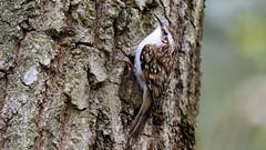 Treecreeper (Unintended_Keith) Tags: bird nature wildlife treetrunk berkshire treecreeper californiacountrypark canon7dmkii sigma150600mms
