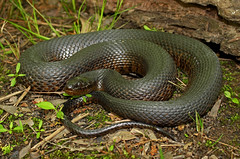 Mississippi Green Water Snake (Nerodia cyclopion cyclopion) (2ndPeter) Tags: wild green nature water canon mississippi photography rebel spring snake wildlife peter scales swamp april cypress arkansas serpent 1855mm herp t3i 2016 nerodia keeled herping cyclopion paplanus