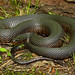 Mississippi Green Water Snake (Nerodia cyclopion cyclopion)