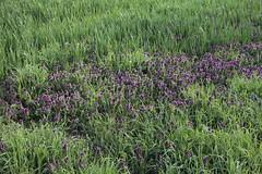 Lamium purpureum, Purpurrote Taubnessel (julia_HalleFotoFan) Tags: pflanzen lamium lamiumpurpureum creuzburg wildpflanzen werratal purpurrotetaubnessel taubnissel