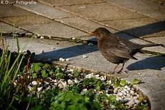 Der frhe Vogel fngt den Wurm / The early bird catches the worm (R.O. - Fotografie) Tags: city brown bird lumix outdoor bad panasonic stadt braun fz 1000 dmc vogel driburg fz1000 dmcfz1000