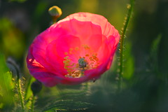 (roadcat2016) Tags: life pink flowers petals spring gardening poppy glowing botany backlighting pinkpoppy softfocusphoto