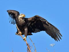 DB5_9907 (DouglasJB) Tags: nature wings wildlife flight juvenile baldeagles nozoos birdsinbc djbphotocom nikonafsnikkor300mmf28gedvrii