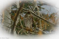 I'm lookin at you Sparrow (Brian Eagar Nature Photography) Tags: winter snow tree bird nature outside hawk wildlife january raptor aspen coopershawk 2016 utahbird xf55200 fujixf55200 fujixt1