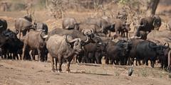 SK7_6215 (glidergoth) Tags: park south safari national zambia waterbuffalo luangwa mfuwe bubalusbubalis