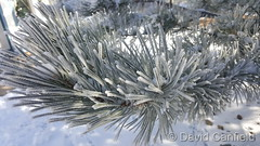 January 10, 2016 - Beautiful frost covered pines. (David Canfield)