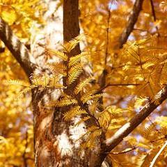 Dawn Redwood with a SIGMA DP3 Merrill (3/3) (macpapaja) Tags: autumn nature square sigma dp3