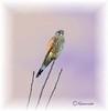 Turmfalke III (kairemwatt) Tags: vögel greifvögel turmfalke fauconcrécerelle europeankestrel standvogel