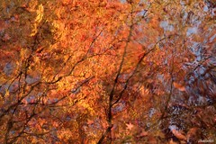 Fire on the waters.. (Shubhashish Chakrabarty) Tags: autumn reflections tokyo maple pond 東京 紅葉 秋 池