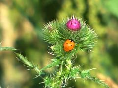 Natur (dorisgoebel) Tags: animal thistle natur ladybird blte tier distel marienkfer