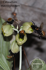 Catasetum macroglossum _DSC0399 (Valdison Ap. Gil, Rolim de Moura RO) Tags: brazil brasil catasetum macroglossum mamangava orkids rondnia