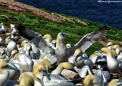Fou de Bassan (Schmouel) Tags: bird de quebec ile bec oiseau bonaventure fou bassan gaspesie gannets plume colonie