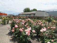 Morrinsville Rose Garden
